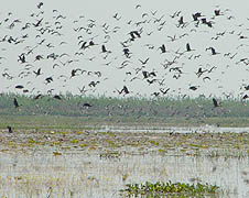 A swamp jointly managed by Caritas-Bangladesh government attracts migratory birds (Photo courtesy of Caritas Bangladesh)