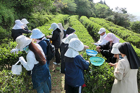 Harvesting tea in field originally owned by Father Marc Marie De Rotz, a French missionary to Japan in the late 19th Century (Photo: Archdiocese of Nagasaki)