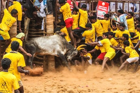 Fighting over bulls in India's Tamil Nadu