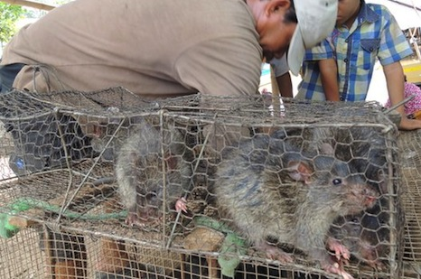 Cambodia finds a booming business in exporting rat meat
