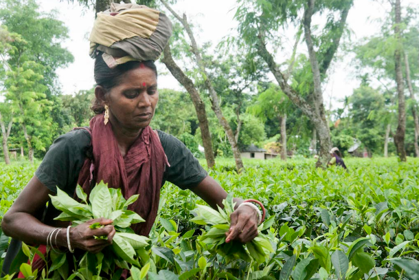 All strain and no gain for Bangladeshi tea workers